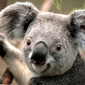 Profile_43080_pi_Koala