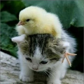 Profile_46474_pi_baby-kitten-and-chick