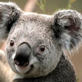 Profile_47999_pi_Koala