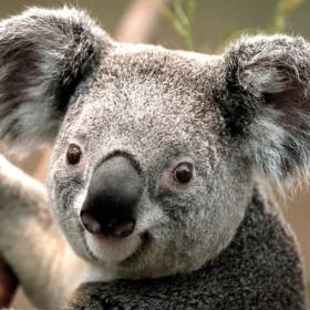 Profile_53302_pi_Koala