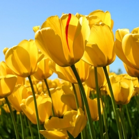 Profile_59608_pi_Tulips